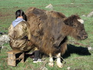 Milking in Mongolia